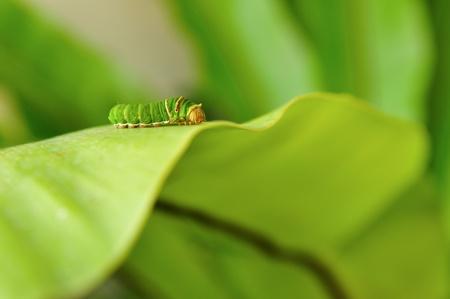 Caterpillar on fern leaf