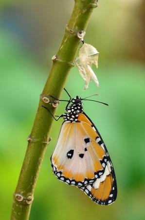 metamorfosis: mariposa reci�n transformado Foto de archivo