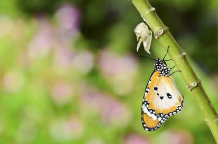 pupation: newly transformed butterfly