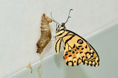 ciclo de vida: mariposa recién transformado Foto de archivo