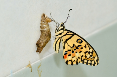 lifecycle: newly transformed butterfly