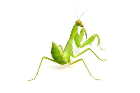 Mantis isolated on white background photo