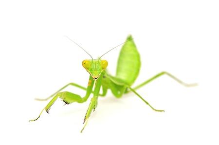 Mantis isolated on white background
