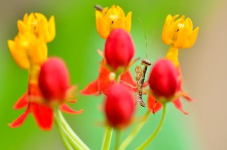 small mantis between flower