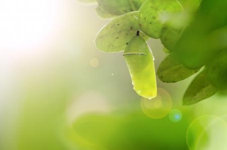 chrysalis: pupa woth sunrise