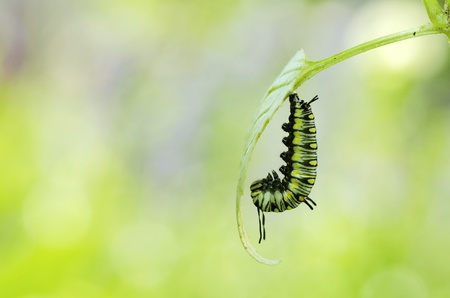 the moment before caterpillar turning to pupa