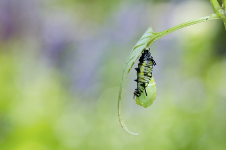 the moment caterpillar turning to pupa