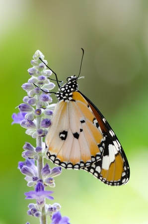 plain tiger butterfly on sage with green garden background