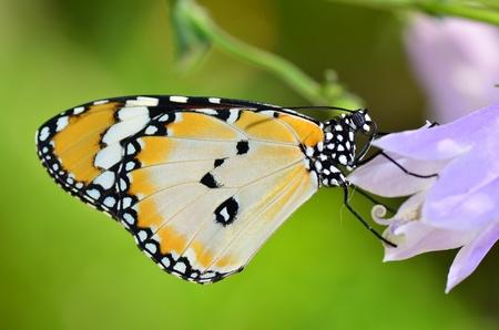 plain tiger butterfly on flower Standard-Bild