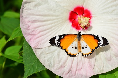 plain tiger butterfly on hibiscus