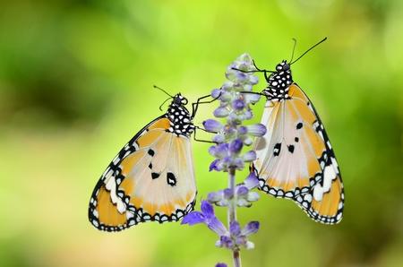 pair of plain tiger butterfly on sage Standard-Bild