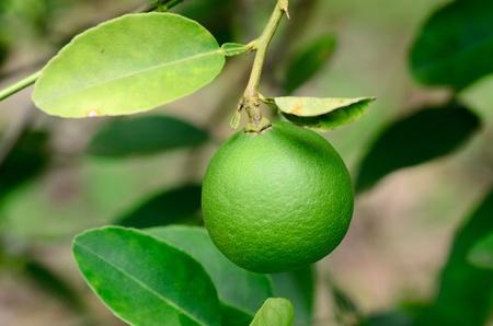 Lime grown on tree