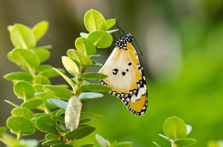 caterpillar: newly transformed butterfly