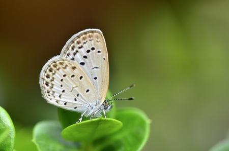 Zizeeria maha okinawana small butterfly Standard-Bild