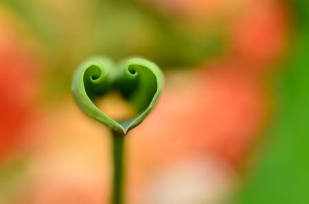 Love shape lotus leaf Stock Photo
