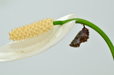 Cocoon of Blue Moon Butterfly on spathe flower Standard-Bild