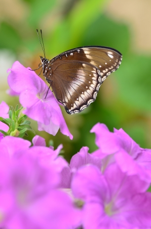 Blue moon butterfly on pink petunia