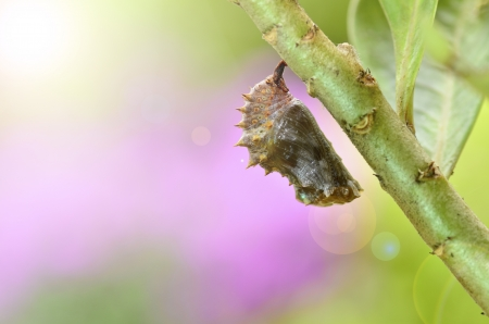 imago: Cocoon of Blue Moon Butterfly Stock Photo