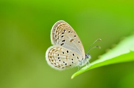 Zizeeria matsumura okinawana butterfly Standard-Bild