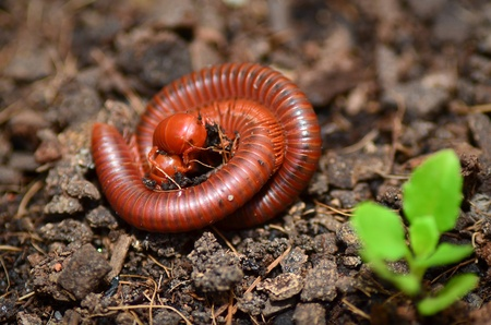 A Pair of Millipedes mating