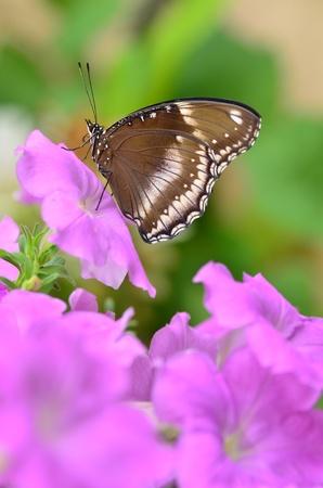 Blue Moon Butterfly on pink petunia flower