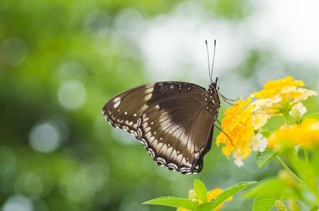 Blue Moon Butterfly on Lantana camara photo