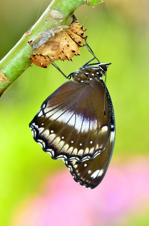 lifecycle: Blue Moon Butterfly newly transformed