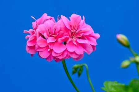 Trailing geranium Standard-Bild