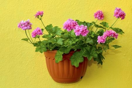 trailing: Trailing geranium Stock Photo