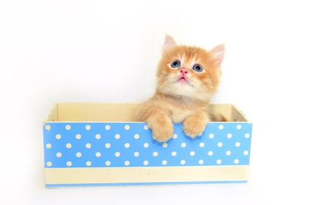 kitten in blue dot box photo