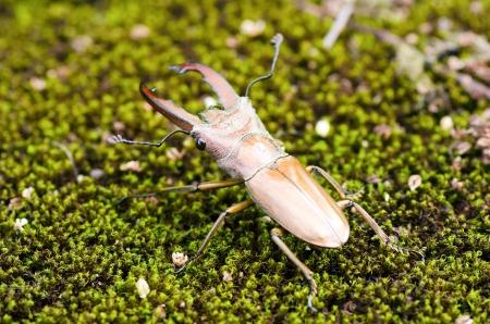 coleopter: Stag beetles  Lucanidae