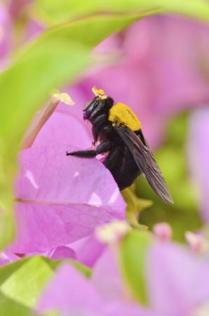 bombus: Carpenter bee in the garden