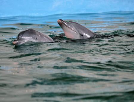 bottlenose: Bottlenose dolphin posing to the camera