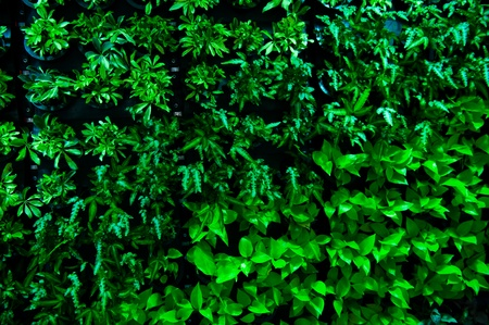 image of green leaves wall background.  photo