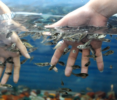 fish spa: Hand in water with fishes (Fish spa for skin care).