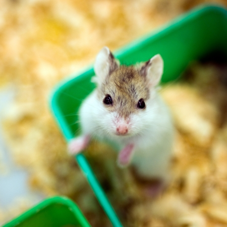 dwarf hamster: hamster sitting in a wooden house
