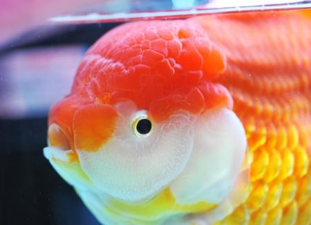 escamas de peces: león, peces de colores en la cabeza de pecera.