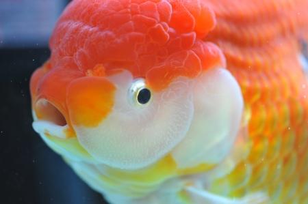 ranchu: lion head goldfish in fish tank.