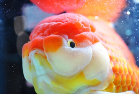 lion head goldfish in fish tank. photo