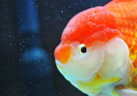 fishtank: lion head goldfish in fish tank.