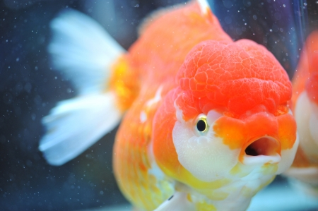 goldfishes: lion head goldfish in fish tank.