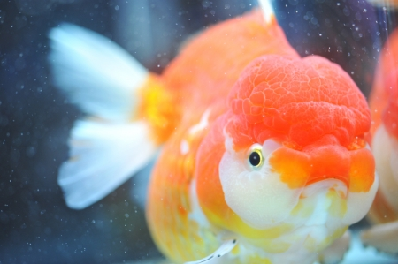 lion head goldfish in fish tank. Stock Photo - 13648466