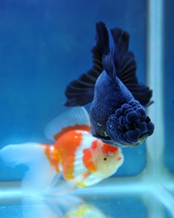 ranchu: two different, lion head goldfish in fish tank.