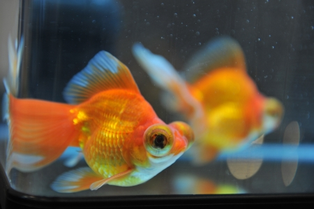 two gold fish in the bowl. Stock Photo - 13648856