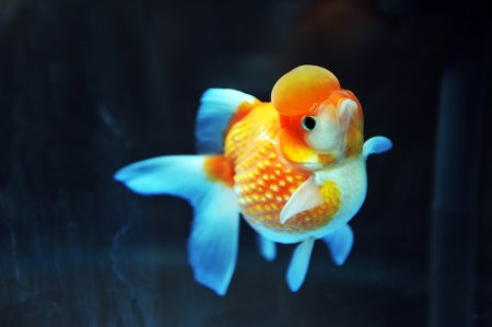 lionhead: lion head goldfish in fish tank.