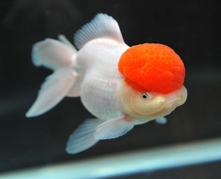 lionhead: Red cap oranda goldfish, close-up