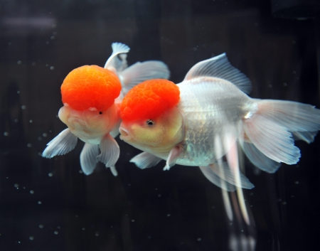 Red cap oranda goldfish, close-up