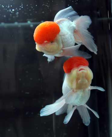 Red cap oranda goldfish, close-up  photo