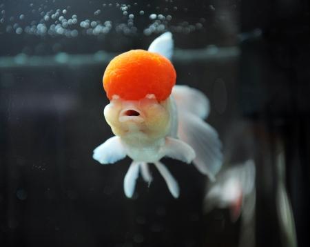 Red cap oranda goldfish, close-up