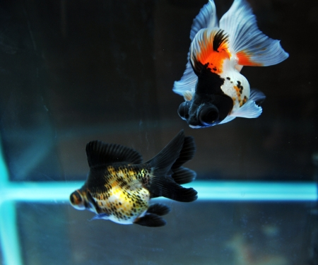 funny goldfish in fishbowl with funny action. Stock Photo - 13647996